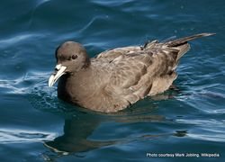 Phil Bendle Collection:Petrel (White-chinned petrel) Procellaria aequinoctialis