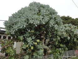 Phil Bendle Collection:Protea nitida (Wagon tree)