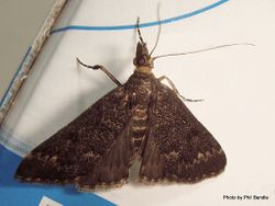 Phil Bendle Collection:Proternia philocapna (Grass moth)