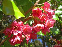 Phil Bendle Collection:Prunus campanulata (Taiwan cherry)
