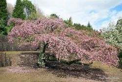 Phil Bendle Collection:Prunus species (Flowering Cherry)