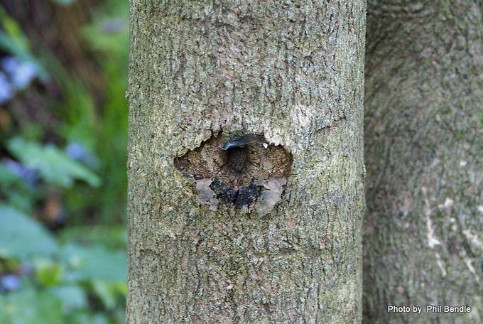 Pruri moth hole Aenetus virescens moth.JPG