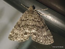 Phil Bendle Collection:Pseudocoremia indistincta Forest looper moth)