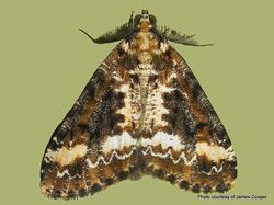 Phil Bendle Collection:Pseudocoremia leucelaea (Forest looper moth)