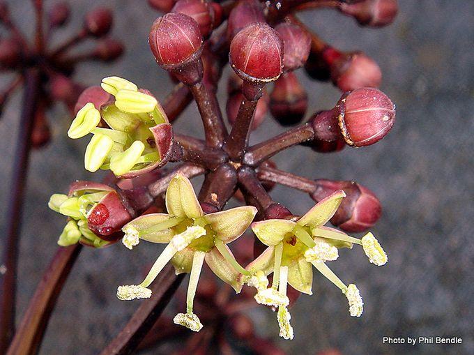 Pseudopanax arboreus Five finger-002.JPG