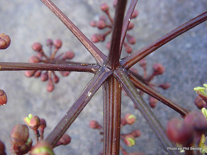 Pseudopanax arboreus Five finger-004.JPG