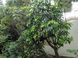 Phil Bendle Collection:Pseudopanax arboreus (Five finger)