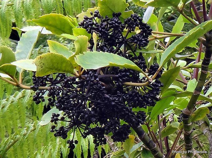 Pseudopanax arboreus Fivefinger.JPG