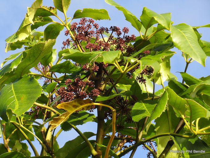 Pseudopanax arboreus Whauwhaupaku-001.JPG