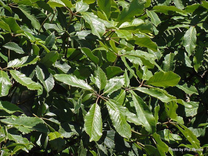 Pseudopanex arboreus Five Finger Whauwhaupaku-002.JPG