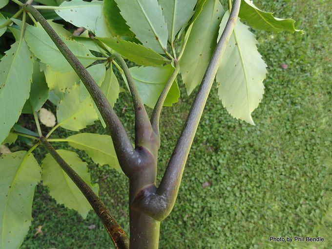 Pseudopanex arboreus Five Finger Whauwhaupaku-012.JPG