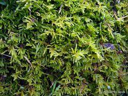 Phil Bendle Collection:Pseudoscleropodium purum (European Feather Moss)