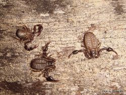 Phil Bendle Collection:False Scorpion (Pseudoscorpions)