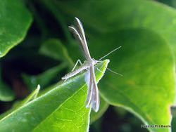 Phil Bendle Collection:Pterophorus furcatalis (Plume moth)