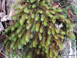 Phil Bendle Collection:Ptychomnion aciculare (Pipe cleaner moss)