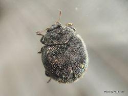 Phil Bendle Collection:Beetle (Puffball beetles) Genus Caenocara