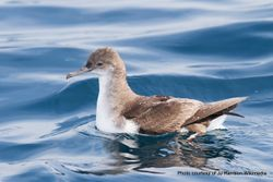 Phil Bendle Collection:Shearwater (Fluttering) Puffinus gavia