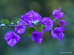 Phil Bendle Collection:Bougainvillea genus