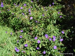 Phil Bendle Collection:Tibouchina urvilleana (Purple glory bush)