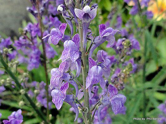 Purple toadflax Linaria purpurea -1.JPG
