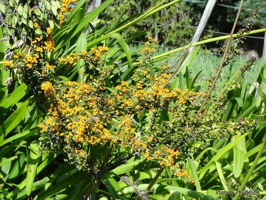 Pyracantha Soleil d'Or Yellow Firethorn-001.JPG