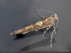 Phil Bendle Collection:Pyroderces apparitella (Leafminer moth)