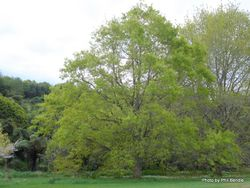 Phil Bendle Collection:Quercus imbricaria (Shingle Oak)