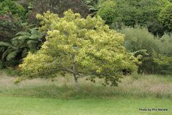 Phil Bendle Collection:Quercus libani (Lebanon Oak)