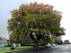 Phil Bendle Collection:Quercus robur (English oak)