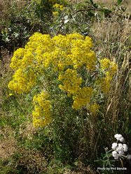 Phil Bendle Collection:Jacobaea vulgaris (Yellow Ragwort)