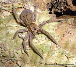 Phil Bendle Collection:Nusery web spider (Dolomedes schauinslandi)