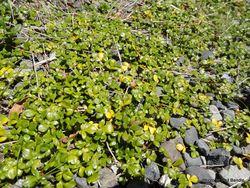 Phil Bendle Collection:Ranunculus acaulis (Sand buttercup)
