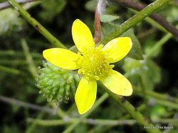 Phil Bendle Collection:Ranunculus hirtus