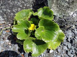 Phil Bendle Collection:Ranunculus insignis (Korikori)
