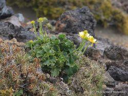 Phil Bendle Collection:Ranunculus nivicola (Mountain buttercup)