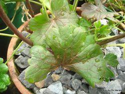 Phil Bendle Collection:Ranunculus verticillatus