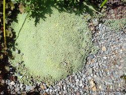 Phil Bendle Collection:Raoulia parkii (Celadon mat daisy)