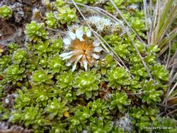 Phil Bendle Collection:Raoulia subsericea (Turf mat daisy)