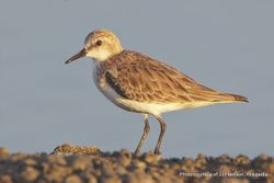 Phil Bendle Collection:Stint (Red-necked) Calidris ruficollis