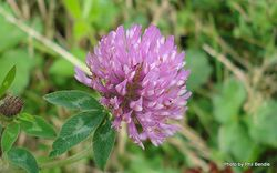 Phil Bendle Collection:Trifolium pratense (Red clover)