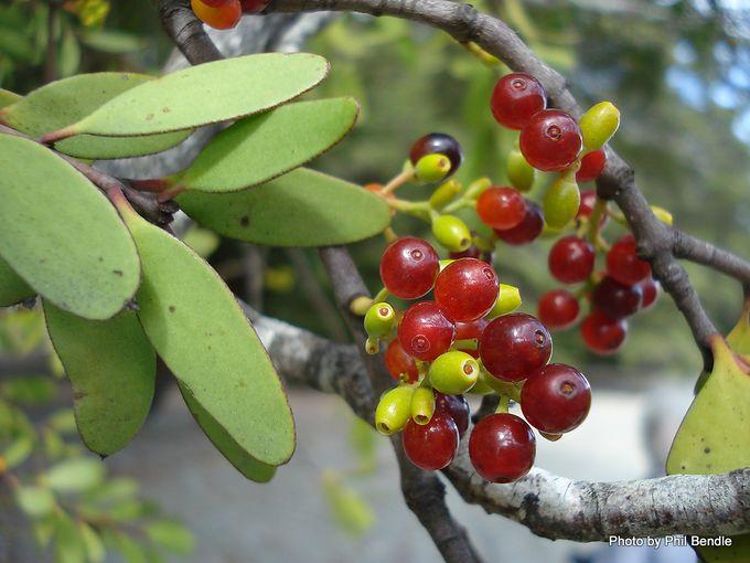 Red Mistletoe Peraxilla tetrapetaia -9.JPG