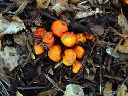 Phil Bendle Collection:Leratiomyces ceres (Chip cherries)