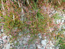 Phil Bendle Collection:Persicaria maculosa (Willow Weed)