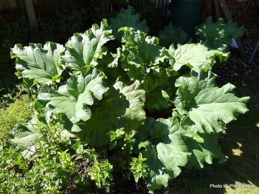 Rhubarb Rheum rhaponticum -001.JPG
