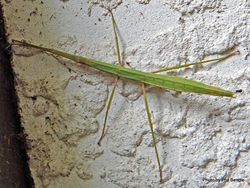 Phil Bendle Collection:Stick insect (Ridgebacked) Tectarchus ovobessus