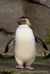 Phil Bendle Collection:Penguin (Rockhopper) Eudyptes chrysocome