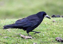 Phil Bendle Collection:Rook (Corvus frugilegus)
