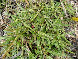 Phil Bendle Collection:Rubus parvus (Creeping lawyer)