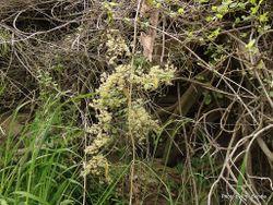 Phil Bendle Collection:Rubus schmidelioides (Bush lawyer)