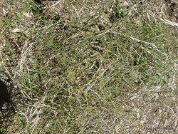 Phil Bendle Collection:Rubus squarrosus (Leafless lawyer)